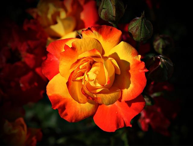 Rose-408341_640